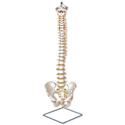 Flexible Vertebral Column Model